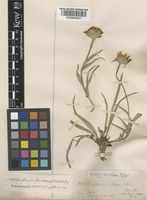 Pyrrocoma uniflorus (Hook.) Greene subsp. howellii Gray, A. [family COMPOSITAE]