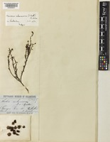 Isotype of Maireana melanocoma (F.Muell.) Paul G.Wilson [family AMARANTHACEAE]