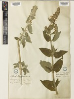 Stachys germanica L. [family LAMIACEAE]