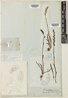Lectotype of Spiranthes novae-zelandiae Hook.f. [family ORCHIDACEAE]