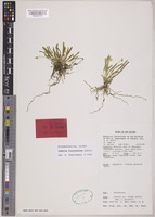 Holotype of Cadetia finisterrae Schltr. [family ORCHIDACEAE]