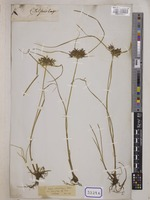 Cyperus unrecorded L. [family CYPERACEAE]