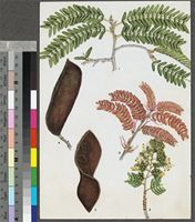 Brachystegia tamarindoides Benth. original illustration from the 'Trees of Central Africa'