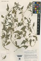 Isotype of Physalis hastatula Waterf. [family SOLANACEAE]
