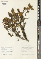 Isotype of Antidesma vaccinioides Airy Shaw [family PHYLLANTHACEAE]