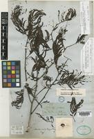 Holotype of Calliandra similis Sprague & L.Riley [family LEGUMINOSAE-MIMOSOIDEAE]