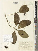 Isotype of Chione chiapasensis Standl. [family RUBIACEAE]