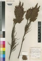 Paratype of Erica jacksoniana H.A.Baker [family ERICACEAE]