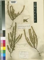 Type of Muraltia brachypetala Wolley-Dod [family POLYGALACEAE]