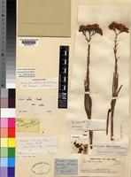 Holotype of Crassula stewartiae Burtt Davy [family CRASSULACEAE]