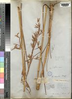 Lectotype of Andropogon auctus Stapf. [family POACEAE]