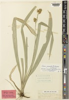 Isotype of Carex sychnostachya Nelmes [family CYPERACEAE]