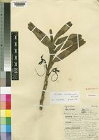 Holotype of Jumellea usambarensis J.J.Wood [family ORCHIDACEAE]