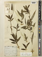 Holotype of Salix cantoniensis Hance [family SALICACEAE]