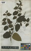 Type of Lonicera affinis Hook. & Arn. [family CAPRIFOLIACEAE]
