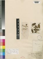 Isotype of Loranthus dregei Eckl. & Zeyh. var. longipes Sprague [family LORANTHACEAE]