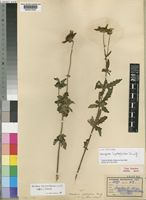 Lectotype of Coreopsis leptoglossa Sherff [family COMPOSITAE]