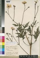 Holotype of Geranium maderense Yeo [family GERANIACEAE]