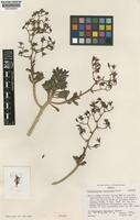Isotype of Graptopetalum fruticosum Moran [family CRASSULACEAE]