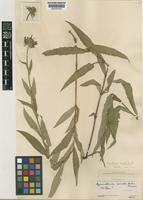 Isotype of Gymnolomia serrata B.L.Rob. & Greenm. [family COMPOSITAE]