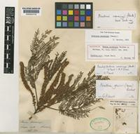 Holotype of Mimosa warmingii Benth. [family LEGUMINOSAE-MIMOSOIDEAE]