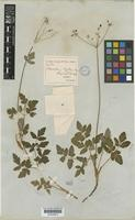 Arracacia aegopodioides (Kunth) J.M.Coult. & Rose [family UMBELLIFERAE]