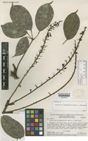 Isotype of Schefflera ayangannensis Maguire, Steyerm. & Frodin [family ARALIACEAE]