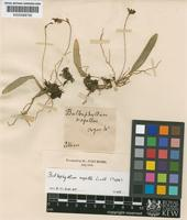 Type of Bulbophyllum napellii Lindl. [family ORCHIDACEAE]