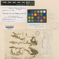 Holotype of Selaginella binervis Liebm. ex Baker [family SELAGINELLACEAE]