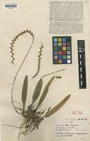 Type of Ione siamensis Rolfe [family ORCHIDACEAE]
