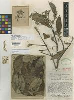 Holotype of Styrax fanshawei Sandwith [family STYRACACEAE]