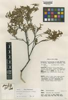 Isotype of Sericolea microphylla Balgooy [family ELAEOCARPACEAE]