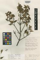 Isotype of Sericolea coodei Balgooy [family ELAEOCARPACEAE]