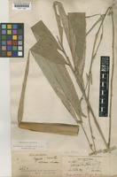 Lectotype of Gigantochloa kurzii Gamble [family POACEAE]