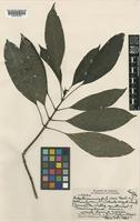 Isotype of Hedyotis acuminata (Cham. & Schltdl.) Steud. f. isae Fosb. [family RUBIACEAE]