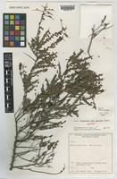 Isotype of Acacia acanthoclada unrecorded subsp. glaucescens Maslin [family LEGUMINOSAE-MIMOSOIDEAE]