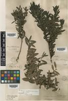Isotype of Persoonia myrtilloides Sieber ex Schult. & Schult.f. subsp. myrtilloides Sieber ex Schult. & Schult.f. [family PROTEACEAE]