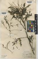 Acacia Schinoides In Global Plants On Jstor