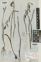 Holotype of Thelymitra pulchella Hook.f. [family ORCHIDACEAE]