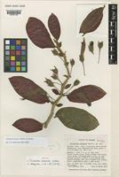 Isotype of Trichantha tenensis Wiehler [family GESNERIACEAE]