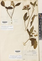 Isotype of Tabernaemontana decaisnei A.DC. var. petiolata A.DC. [family APOCYNACEAE]