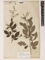 Isotype of Desmodium sequax Wall. [family LEGUMINOSAE-PAPILIONOIDEAE]