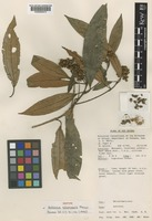 Isotype of Astronia columnaris J.F.Maxwell [family MELASTOMATACEAE]
