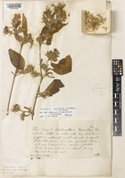 Holotype of Clarkeasia parviflora (T.Anderson) J.R.I.Wood var. albescens J.R.I.Wood [family ACANTHACEAE]