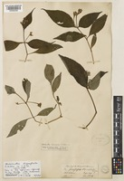 Lectotype of Strobilanthes oligocephala T.Anderson ex C.B.Clarke [family ACANTHACEAE]