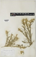 Chrysothamnus parryi unrecorded subsp. vulcanicus (Greene) H.M.Hall & Clem. [family COMPOSITAE]