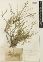 Type of Salsola carpatha P.H.Davis [family AMARANTHACEAE]