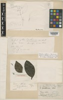 Holotype of Strychnos pierreana A.W.Hill [family LOGANIACEAE]