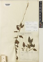 Isotype of Goodyera beccarii Schltr. [family ORCHIDACEAE]