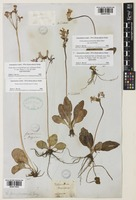Lectotype of Dodecatheon integrifolium unrecorded var. latifolium Hook. [family SALVINIACEAE]